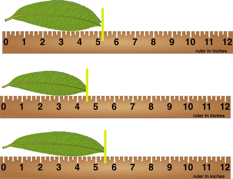 Measuring leaves with rulers that have quarter intervals.
